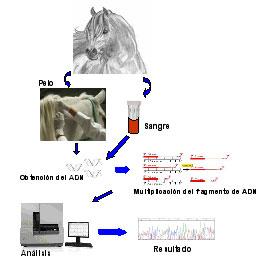 Esquema de la metodología utilizada  para la identificación genética.