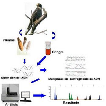 Representación esquemática de la metodología utilizada para la identificación genética.