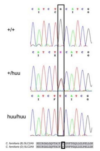 Hiperuricosuria e Hiperuricemia. Secuencia nucleotídica de un perro sano (+/+), un cruce con Dálmata (+/huu) y un Dálmata (huu/huu). Abajo se muestra la secuencia proteica con el aminoácido alterado cisteína (C) a fenilalanina (F)  (Bannasch y col. 2008).