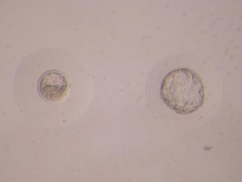 Embriones de coneja (blastocistos).