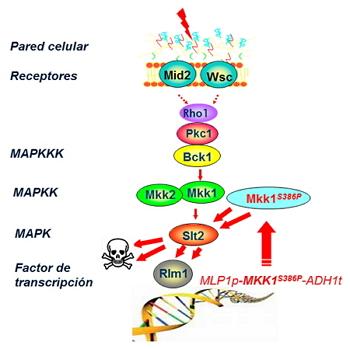 Esquema ilustrativo de la forma de operar del circuito genético de amplificación y retroalimentación de la ruta CWI mediada por la MAPK Slt2 en la levadura S. cerevisiae. Se muestran los distintos componentes que participan en esta ruta de respuesta a estrés sobre la pared celular y la composición de la construcción génica de la invención.