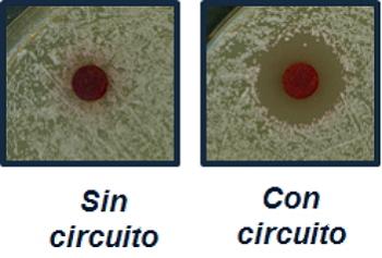 Fotografías ilustrativas de la inhibición del crecimiento que provoca en S. cerevisiae un disco impregnado de rojo Congo en células silvestres sin y con el circuito genético de amplificación de la señal.