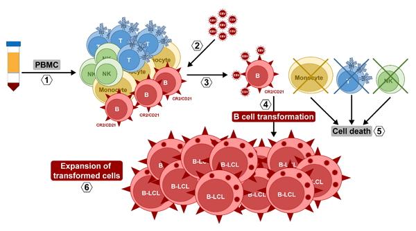 Inmortalización de linfocitos B con virus de Epstein-Barr.
