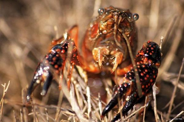 El cangrejo de río está protegido en España. / Javier Pais.