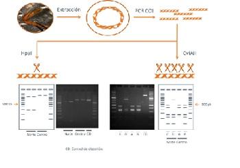 Esquema de la técnica de PCR – RFLP propuesta para la conservación del cangrejo de río autóctono. / M.D. Ochando.
