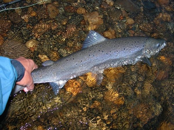 La sobrepesca desde la década de 1970 fue uno de los factores que redujo el número de salmones, a los que se une hoy el cambio climático. / Juan Delibes.