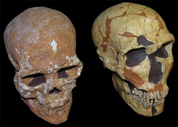 Cráneos de Homo sapiens (izquierda) y Homo neanderthalensis (derecha) / Grupo de Paleoantropología (MNCN-CSIC).