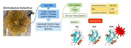 El análisis transcriptómico de alto rendimiento del veneno de la anémona S. helianthus ha permitido no sólo el análisis molecular de su composición, sino el descubrimiento de una nueva proteína formadora de poros de la familia de las actinoporinas./  Grupo de investigación de Proteínas Tóxicas de la UCM.