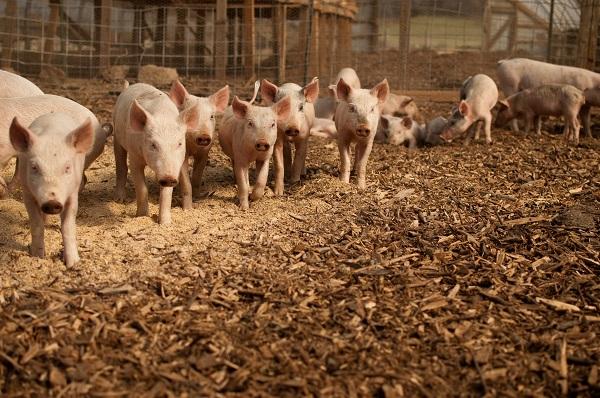 Más de 9.000 pollos y cerdos se han analizado en la Unión Europea en este estudio. / Brian Johnson & Diane Kantner
