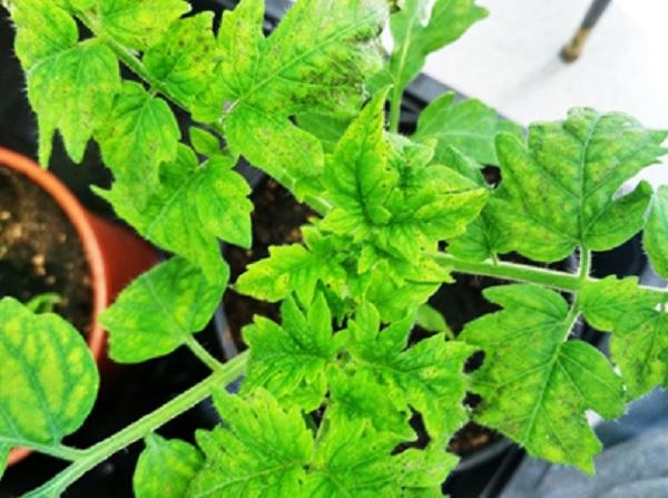 Planta de tomate infectada con la bacteria PsPto. Fuente: UPM.