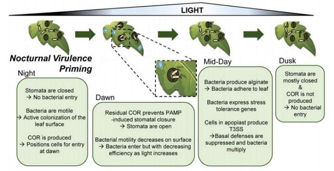 Modelo ilustrando el impacto dela peercepción de la luz sobre la virulencia en hojas de tomate.
