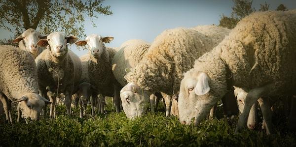 La oveja y la cabra centraban la mayor parte de la economía ganadera. / Juan Andrés López.
