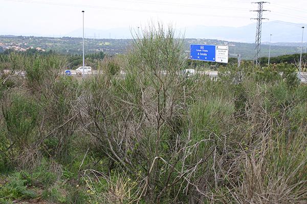 Ejemplares del arbusto Spartium junceum en el Parque Regional de la Cuenca Alta del Manzanares. / UCM.
