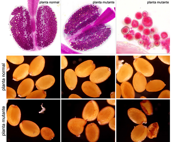 La ausencia de la proteína AGO4 en las plantas mutantes (modificadas) provoca inviabilidad en los granos de polen (los de color azulado), variaciones en su tamaño y alteraciones en las semillas. / Mónica Pradillo.