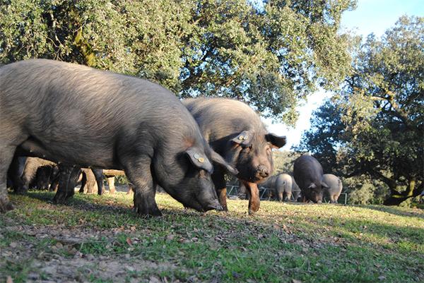 En España se castran a todos los cerdos ibéricos. / Ana Rey.