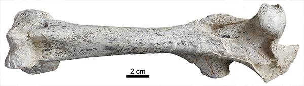 Fémur de Anchitherium, un género extinto de équidos. / Soledad Domingo.