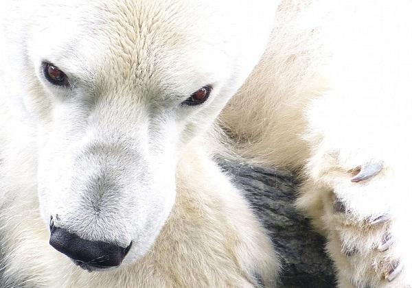 El pelo del oso polar encierra aire dentro de cada fibra para conseguir un buen aislamiento térmico. / Arctic Wolf Pictures.