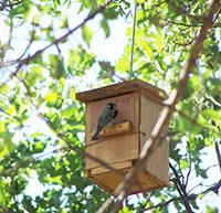 Una hembra de herrerillo se dispone a cebar a sus polluelos en una de las cajas nido utilizadas en el estudio. / Carolina Remacha.