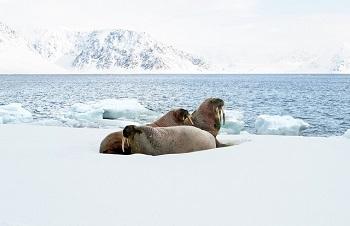 Osos polares, morsas y focas habitan en el Ártico. / Pelopantón.