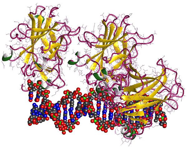 Representación de un fragmento de ADN y de la proteína p53, conocida como el guardián del genoma. / Cho, Y., Gorina, S., Jeffrey, P.D., Pavletich, N.P.