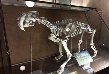 Reconstrucción del esqueleto del tigre dientes de sable Smilodon (Museo de La Plata, Argentina). Autora: Laura Domingo.