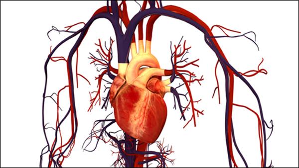 Ilustración del sistema circulatorio humano. /  Bryan Brandenburg.