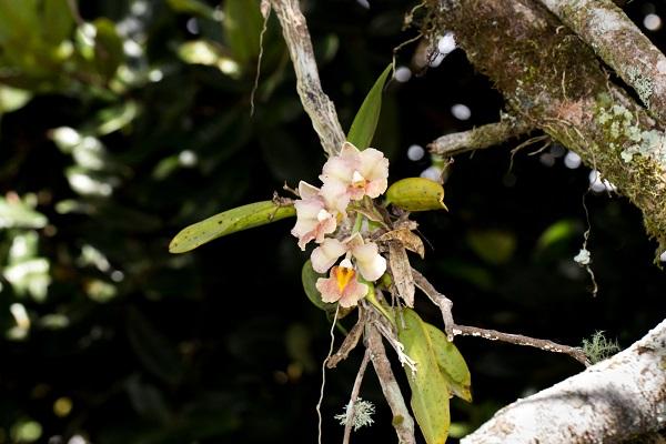Una Rodriguezia granadensis en un árbol. / Luis Pérez.