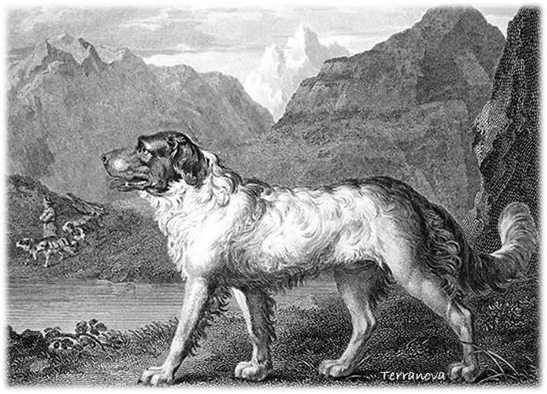 perro terranova antiguo