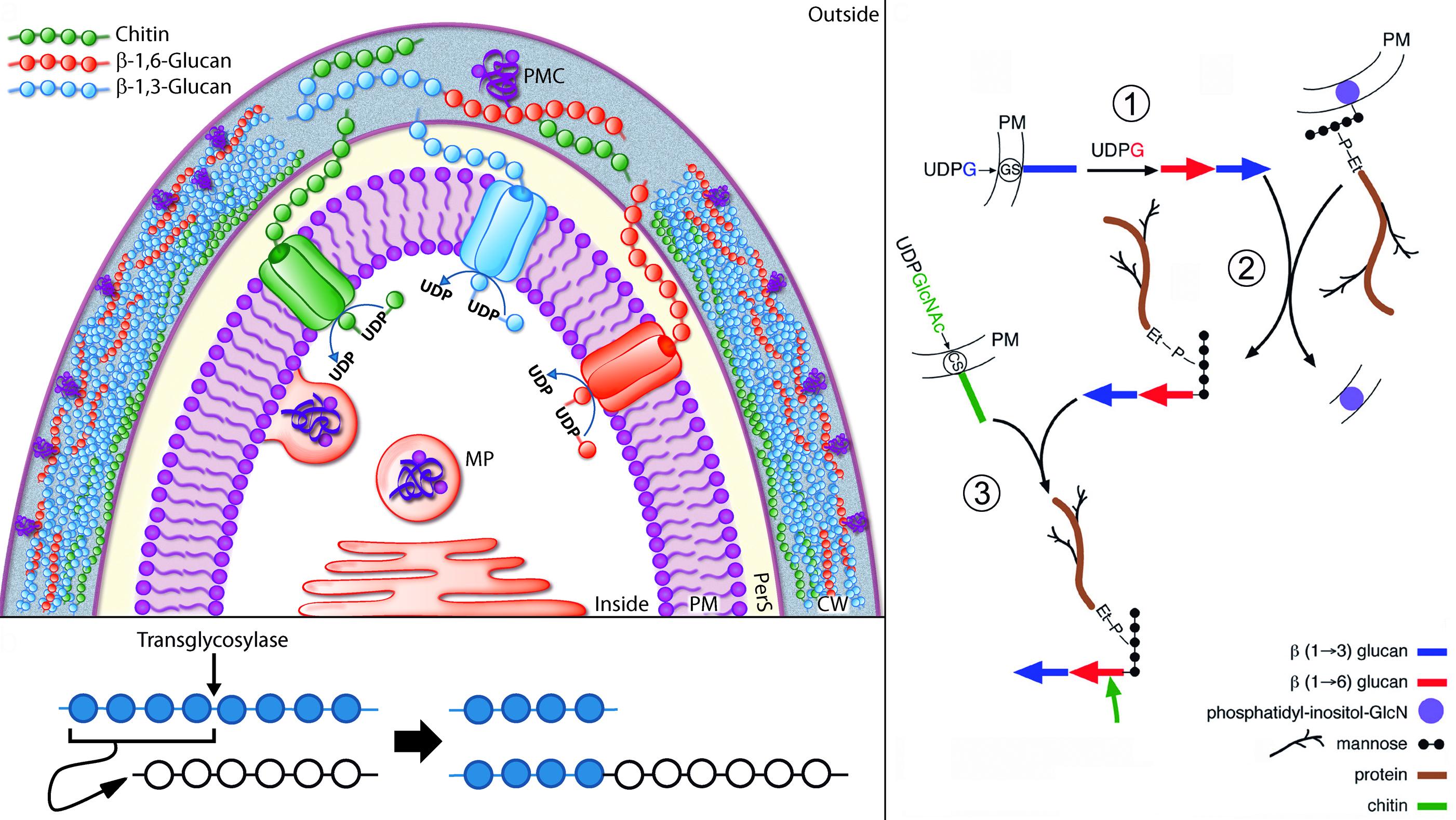 Genomica funcional de levaduras y hongos - Eliminar hongos de la pared ...