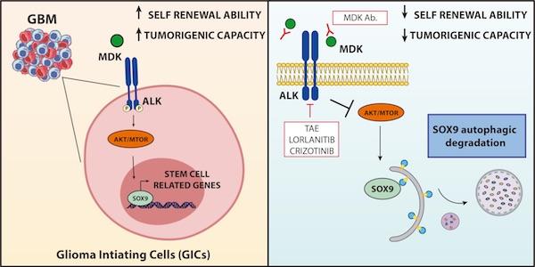 La midquina (MDK) y su receptor ALK regulan las células iniciadoras de glioblastoma (panel izquierdo). La inhibición de esas proteínas puede ser una estrategia terapéutica para tratar este tipo de tumores (panel derecho). / Israel López Valero