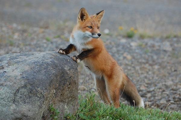 La investigación ha estudiado el zorro rojo (Vulpes vulpes) gallego durante tres años. / skeeze