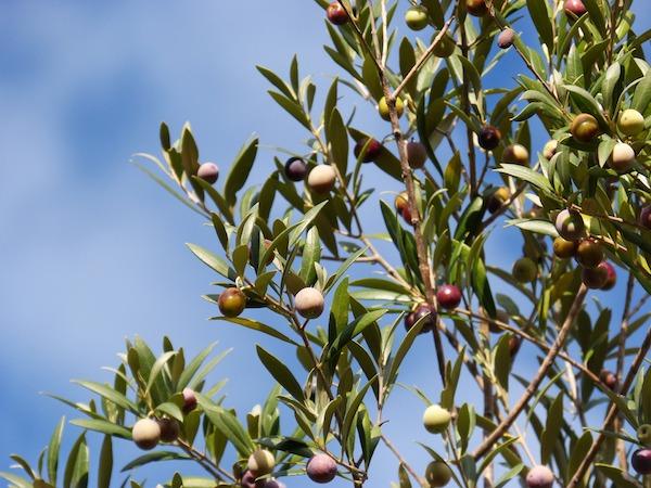 La mosca de olivo es la principal plaga de este cultivo. / Marc Pascual.