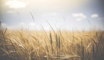 Existe una pérdida de productividad de trigo. / Pexels.