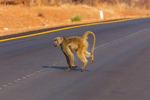 Los primates son uno de los grupos de especies más infrarrepresentados/ Shutterstock.